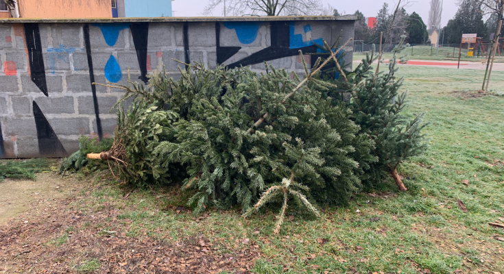 zber vianočných stromčekov šaľa